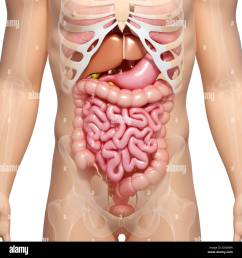 male digestive system artwork stock image [ 1300 x 1390 Pixel ]