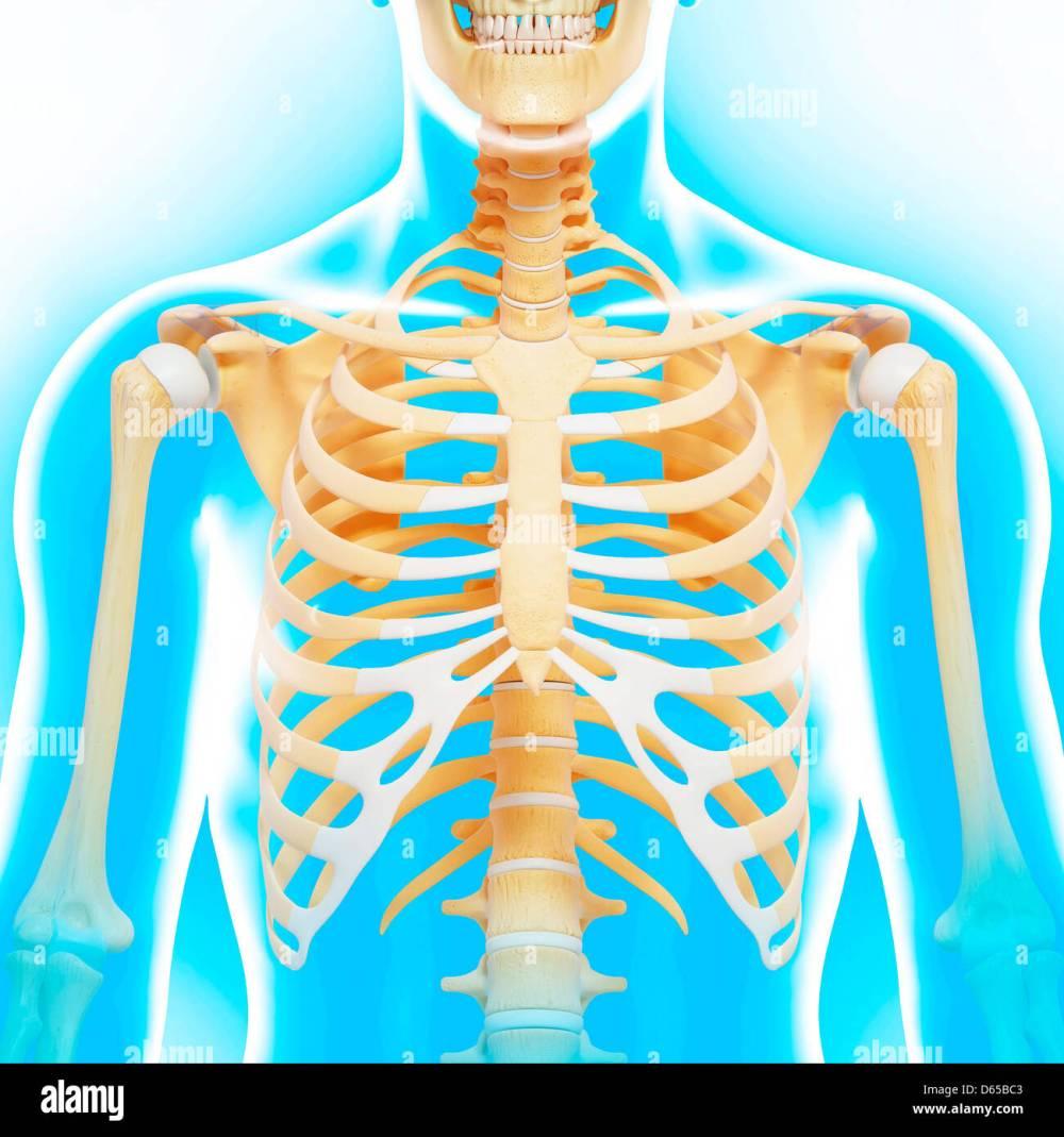 medium resolution of upper body bones artwork