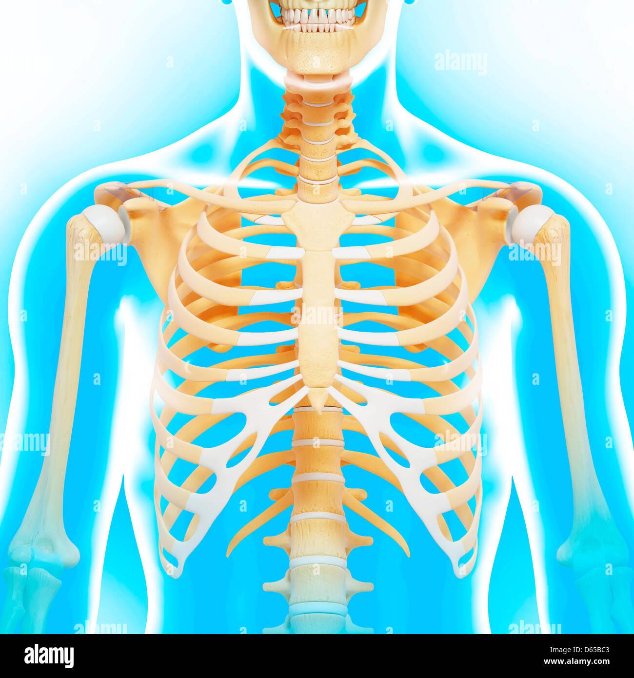hight resolution of upper body bones artwork