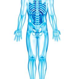 male anatomy artwork stock image [ 779 x 1390 Pixel ]