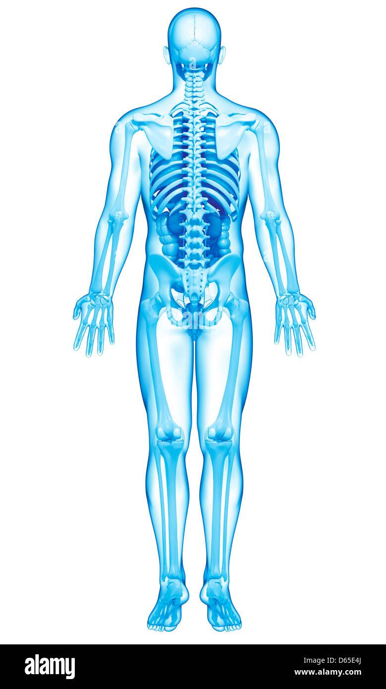 medium resolution of male anatomy artwork stock image