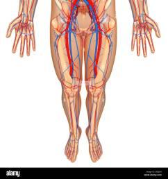 lower body anatomy artwork stock image [ 1300 x 1390 Pixel ]