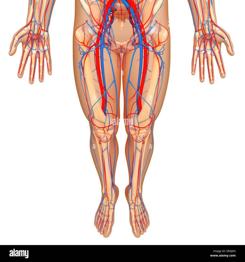medium resolution of lower body anatomy artwork stock image