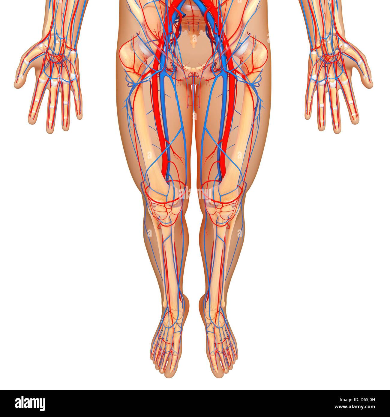 hight resolution of lower body anatomy artwork stock image