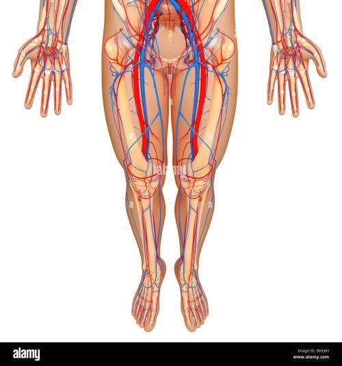 small resolution of lower body anatomy artwork stock image