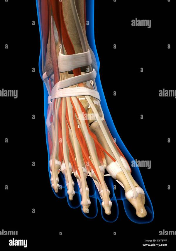 20 The Anatomy Of Human Foot And Ankle Pictures And Ideas On Meta