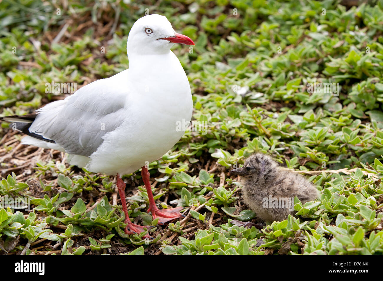 Baby Seagull Stock Photos Amp Baby Seagull Stock Images Alamy