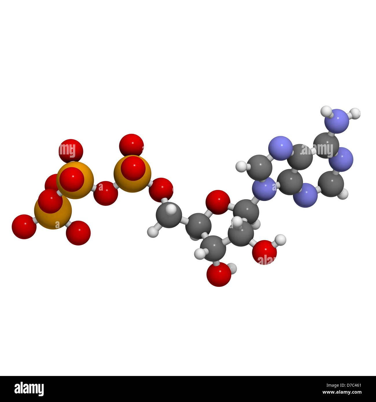 diagram of the atp molecule 1983 peterbilt 359 wiring adenosine triphosphate energy transport