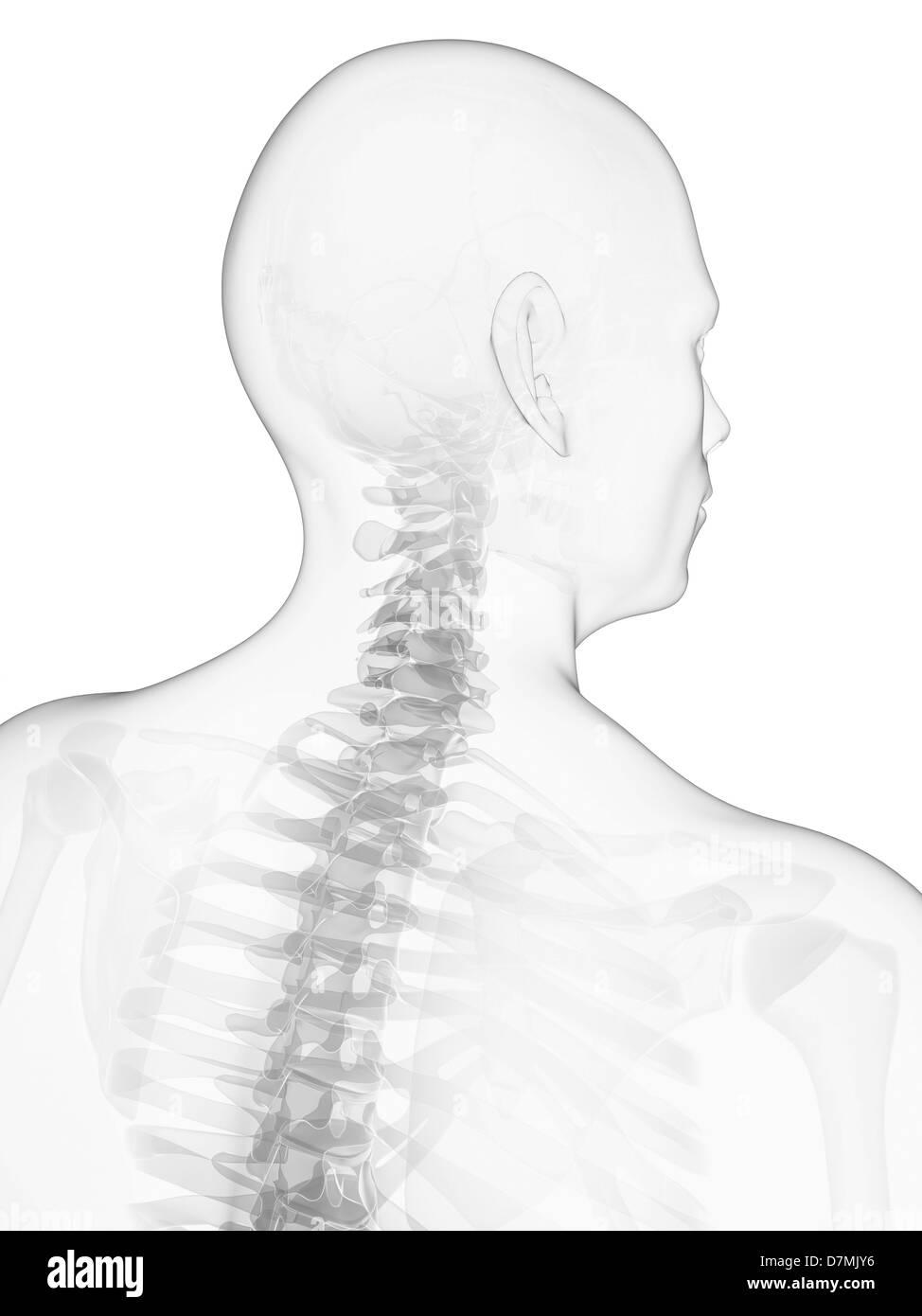 medium resolution of neck bones artwork stock image