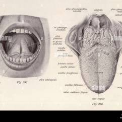 Health Tongue Diagram Dual Battery Wiring Boat Anatomy Head Stock Photo 56742543 Alamy
