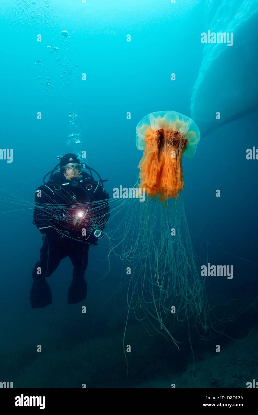 Jellyfish Diving Gear : jellyfish, diving, Lion's, Jellyfish, (Cyanea, Capillata), Diver,, Kulusuk, Stock, Photo, Alamy