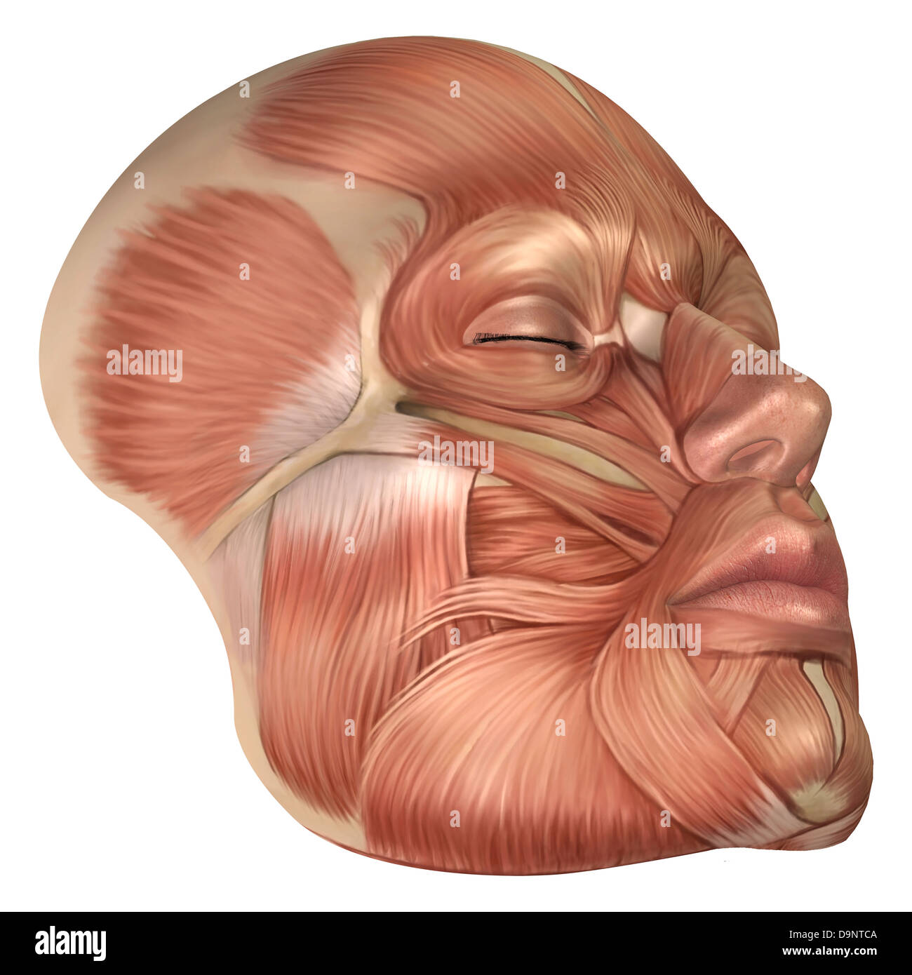 chin muscles diagram model railroad wiring diagrams anatomy of human face stock photo 57643162 alamy