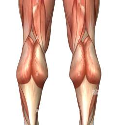 diagram illustrating muscle groups on back of human legs stock image [ 835 x 1390 Pixel ]
