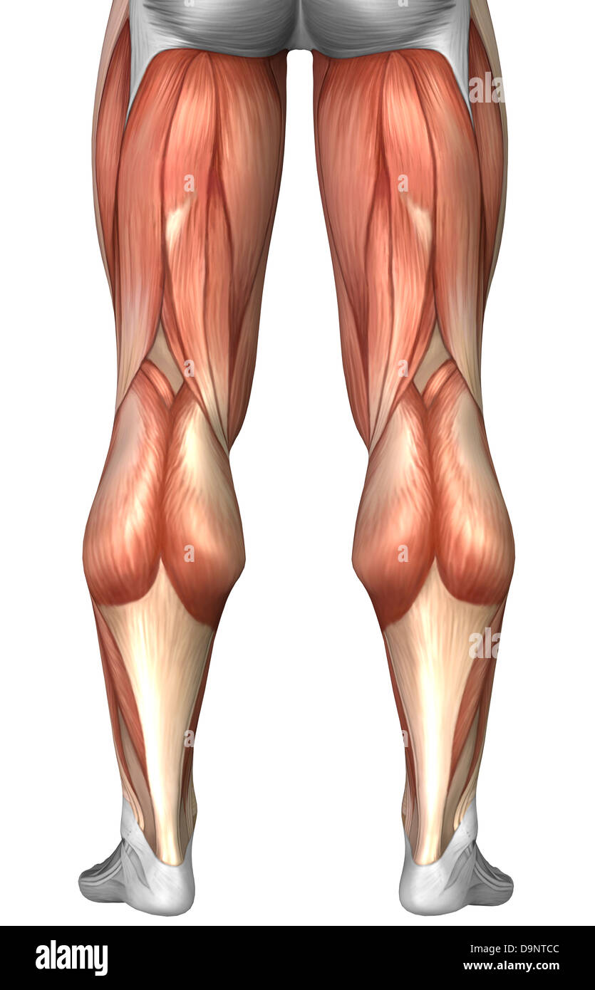medium resolution of diagram illustrating muscle groups on back of human legs stock image