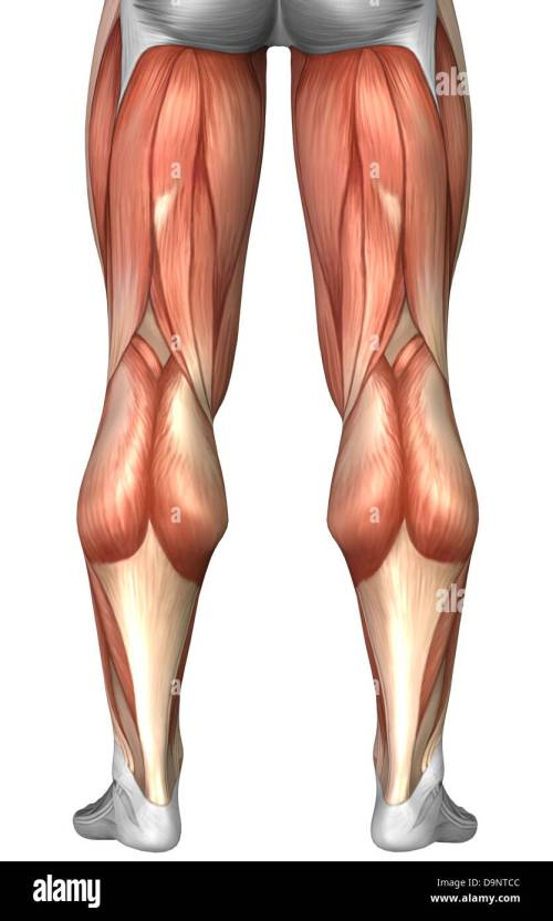 small resolution of diagram illustrating muscle groups on back of human legs stock image