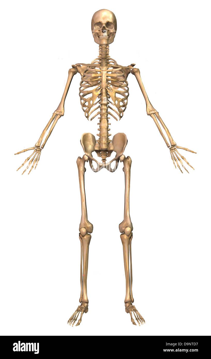 Rib Cage Anatomy Sternum And Ribs