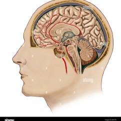 Brain Cross Section Diagram Engine Wiring Diagrams Of With Arteries Stock Photo 57643241