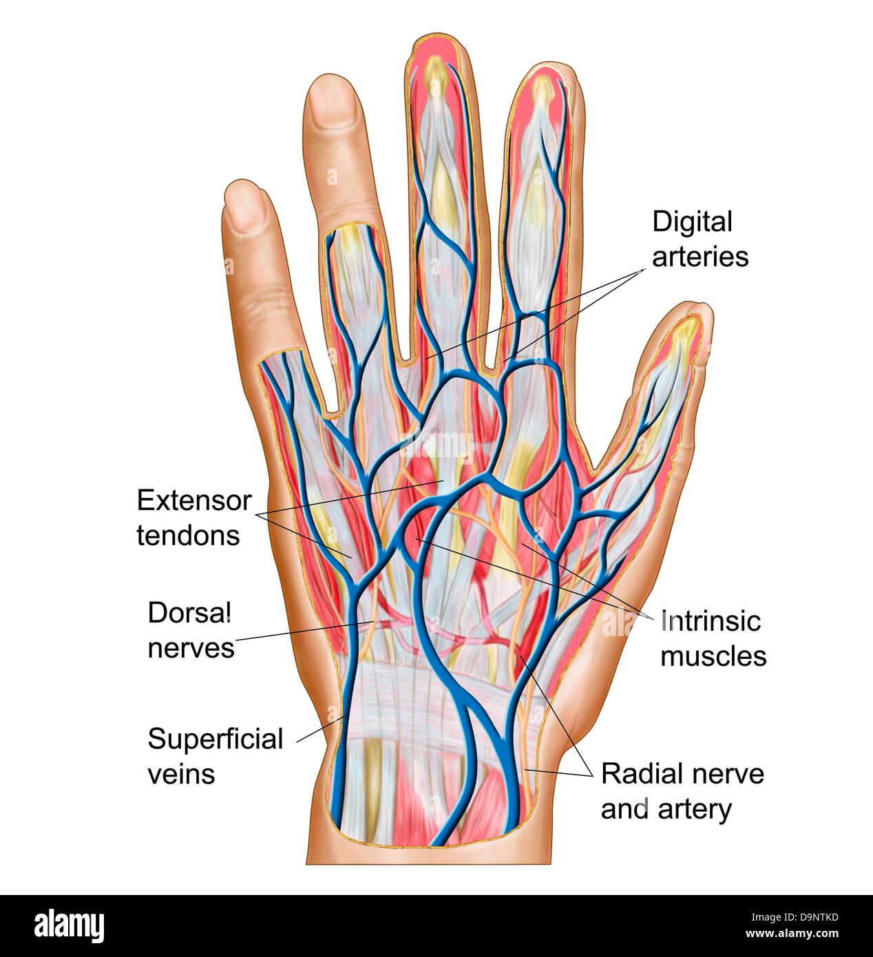 hand nerves diagram ww1 tank stock photos images alamy anatomy of back human image