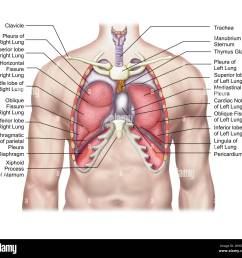 anatomy of human lungs in situ stock image [ 1300 x 1229 Pixel ]