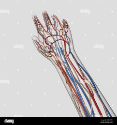 medical illustration of arteries veins and lymphatic system in human hand and arm  [ 1300 x 1390 Pixel ]