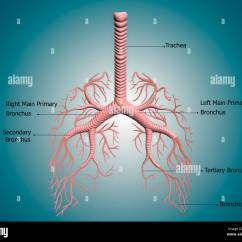 Lung Diagram Drawing Blank Cell To Label Anatomy Of The Bronchus And Bronchial Tubes Stock Photo: 57643792 - Alamy