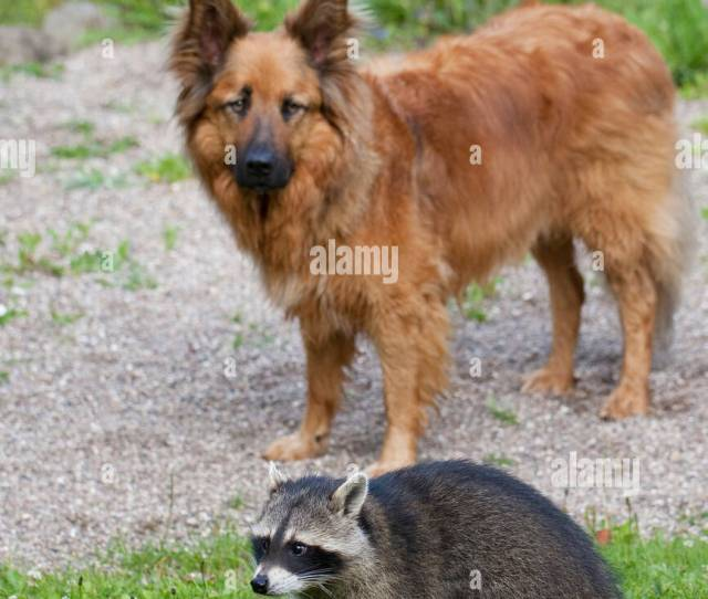 Common Raccoon Procyon Lotor Tame Pup Chummy With Dog Friedship Between Dog And Wild Animal Germany
