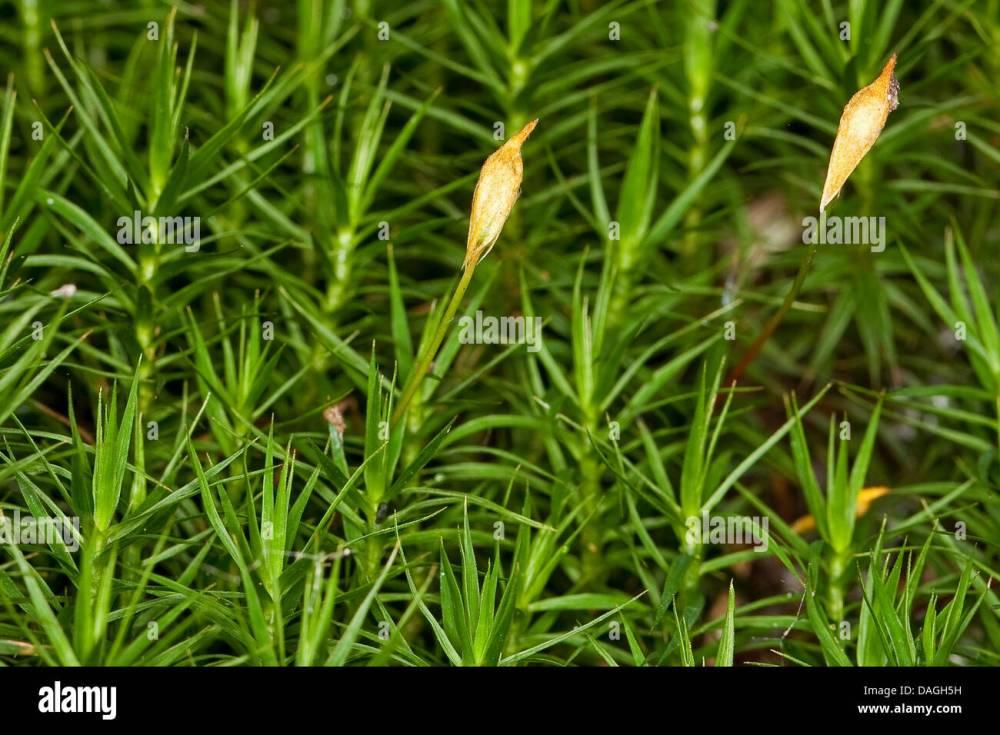 medium resolution of hair cap moss polytrichum commune with sporangia germany stock image