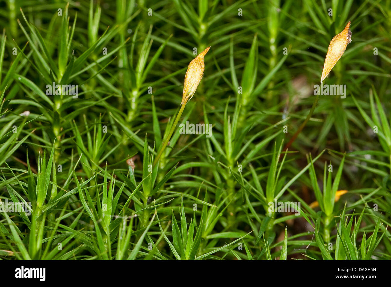 hight resolution of hair cap moss polytrichum commune with sporangia germany stock image