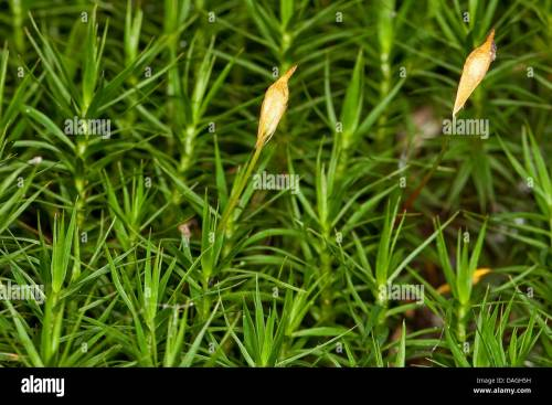 small resolution of hair cap moss polytrichum commune with sporangia germany stock image