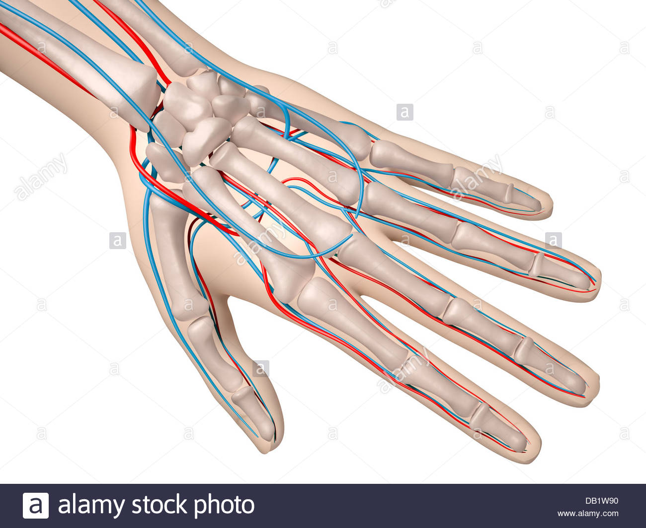 hight resolution of digital medical illustration depicting the hand featuring the skeleton arteries and veins stock