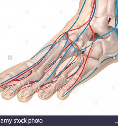 digital medical illustration depicting the front view of the foot featuring the skeleton arteries and [ 1300 x 1064 Pixel ]