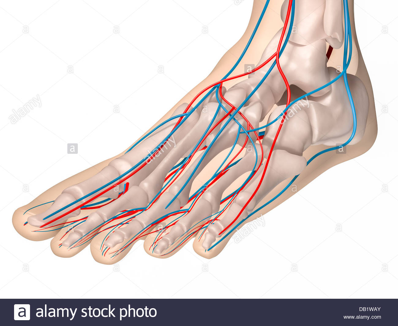 hight resolution of digital medical illustration depicting the front view of the foot featuring the skeleton arteries and
