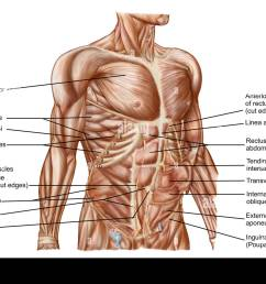 anatomy of human abdominal muscles stock image [ 1300 x 982 Pixel ]