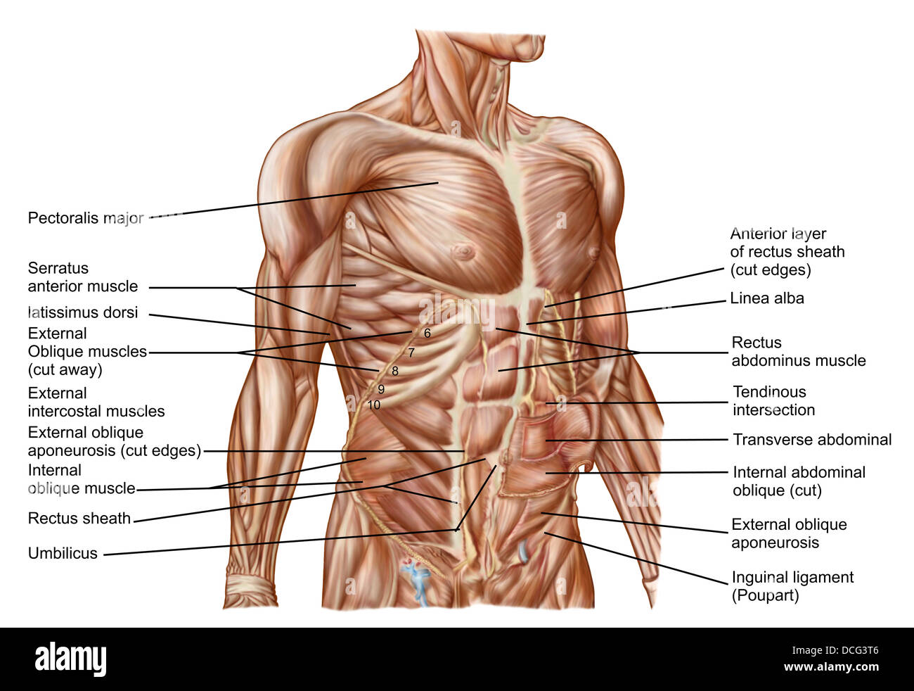 hight resolution of anatomy of human abdominal muscles stock image