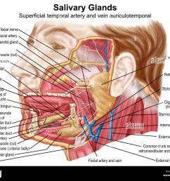 anatomy of human salivary glands stock image [ 1300 x 1080 Pixel ]