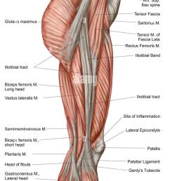 anatomy of human thigh muscles anterior view stock image [ 745 x 1390 Pixel ]