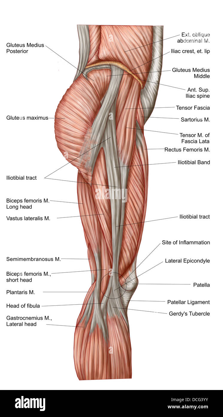 hight resolution of anatomy of human thigh muscles anterior view stock image