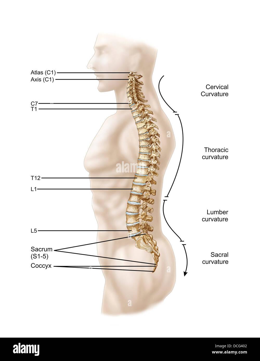 parts of the human skull diagram 1972 chevelle alternator wiring anatomy vertebral column, left lateral view stock photo: 59361346 - alamy