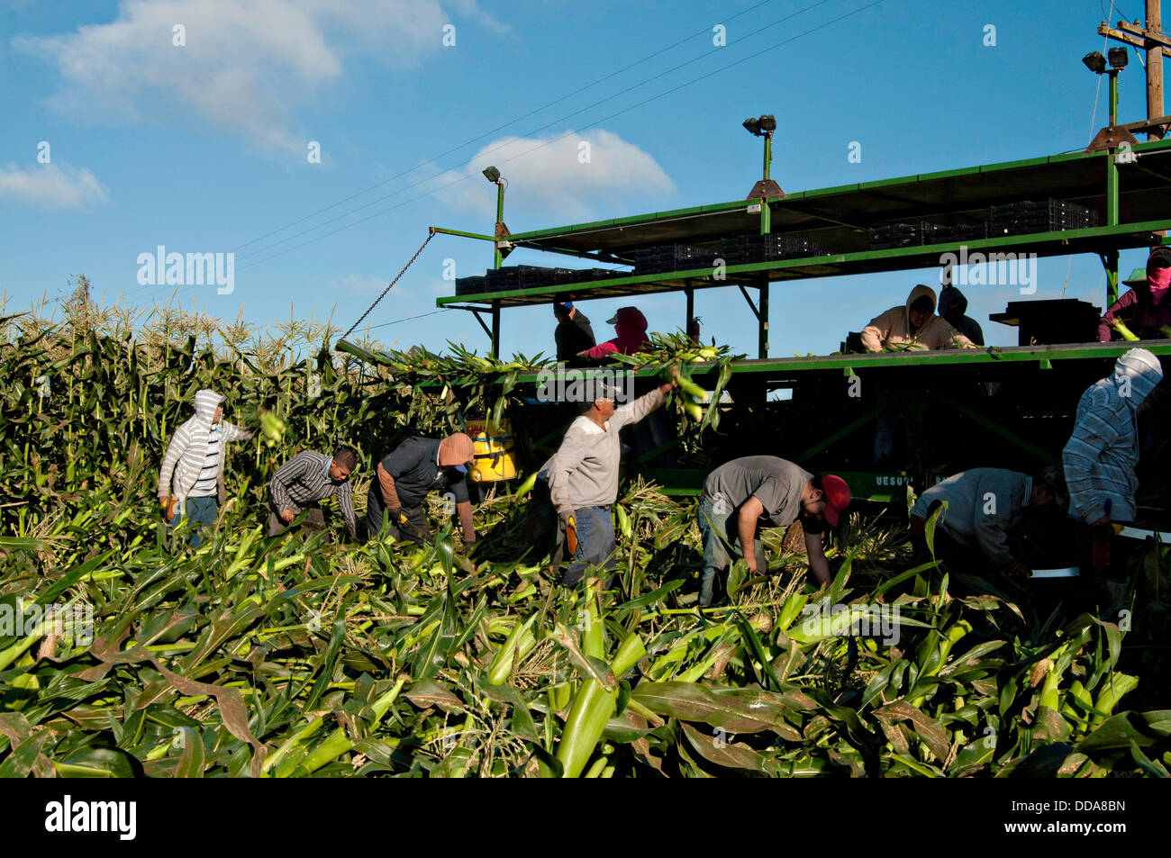 Migrant workers harvest fresh corn at Uesugi Farms August