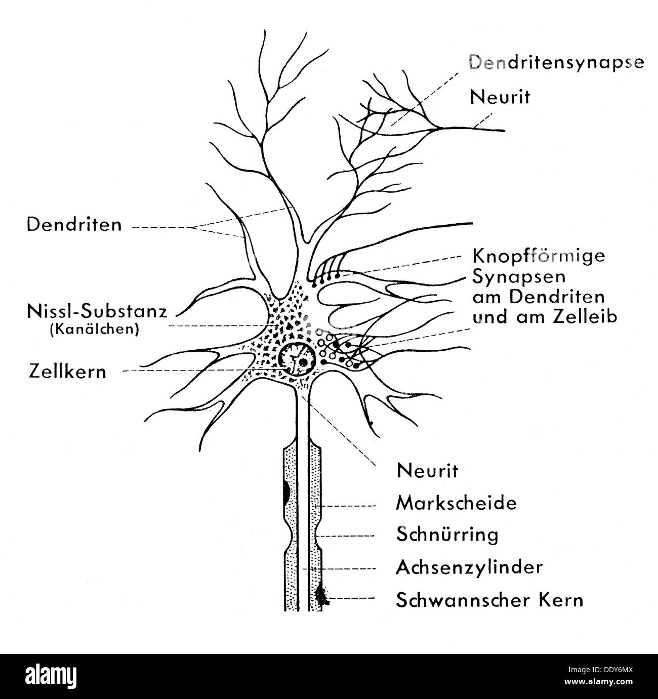 hight resolution of medicine anatomy nerve cell schematic diagram of a ganglion cell drawing 20th century 20th century graphic graphics neural neuritic nerve pathway