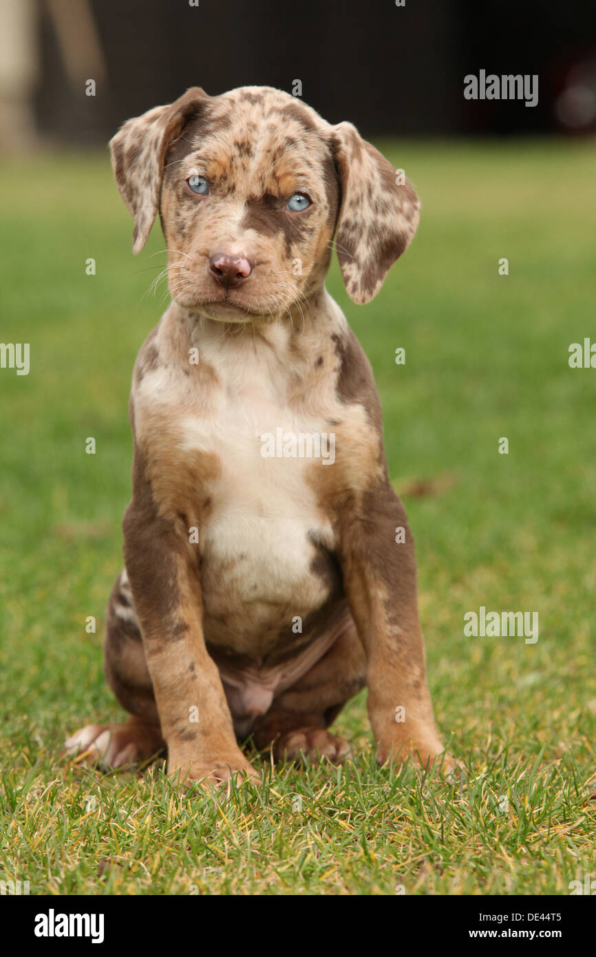 louisiana catahoula puppy on the grass stock image
