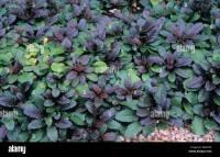 Carpet bugleweed, Common bugleweed (Ajuga reptans Stock ...