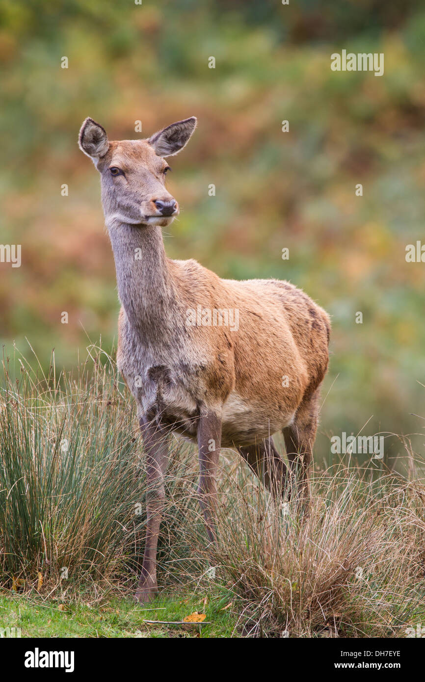 How Long Deer Pregnant : pregnant, Pregnant, Resolution, Stock, Photography, Images, Alamy