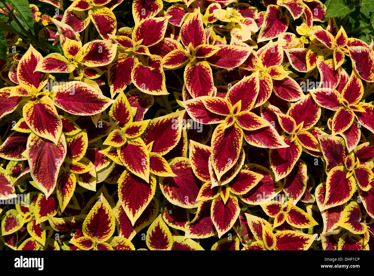 An Attractive Foliage Plant Coleus With Red Leaves And A