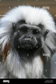 black and white long haired monkey