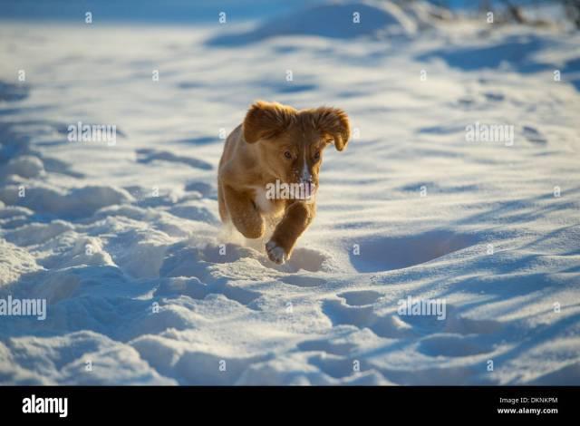 Nova Scotia Duck Tolling Retriever Puppy Running Towards Camera In Snow Stock Image