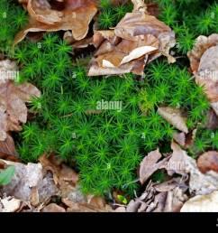 common haircap moss polytrichum commune polytrichaceae aka common hair moss great gold [ 1300 x 1006 Pixel ]