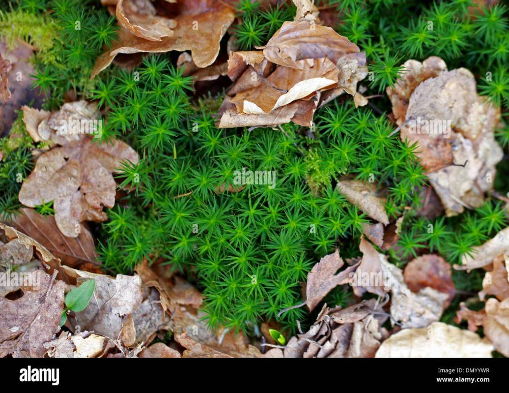 medium resolution of common haircap moss polytrichum commune polytrichaceae aka common hair moss great gold