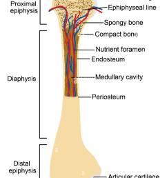 diagram of human bone anatomy stock image [ 939 x 1390 Pixel ]