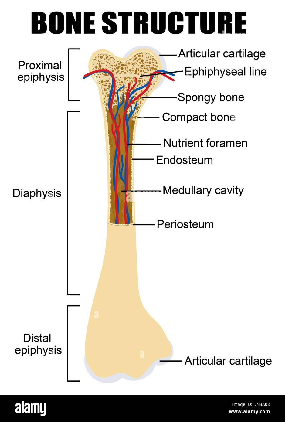 medium resolution of diagram of human bone anatomy stock image